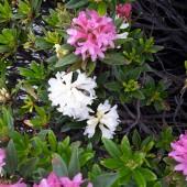 rododendro bianco